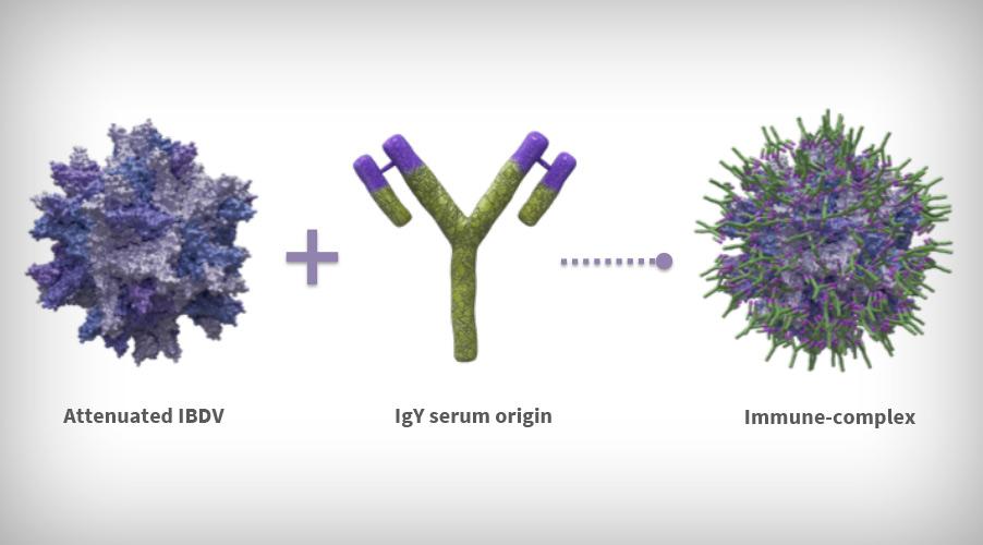 Basis of the immune-complex IBDV vaccines formulation