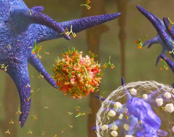 How do IBDV immune complex vaccine viruses arrive at the bursa of Fabricius on the optimal day?